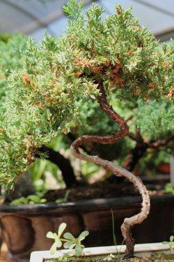 tvarované okrasné stromy